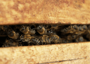 Una especie vital para la conservación y supervivencia de más de 170.000 especies vegetales, ¿Qué pasa con las abejas en invierno?